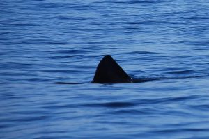 Basking Shark Scotland,Tours-Oban-What To Do-The Sea-Scotland