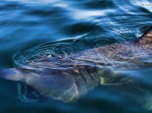 Basking Shark Scotland,Shark-Oban-What To Do-The Sea-Scotland