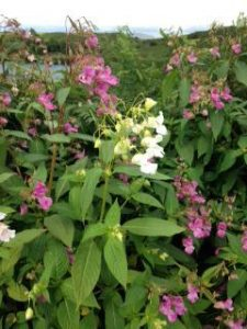 Argyll Knotweed Control Limited,Himalayan-Balsam-Oban-Shops And Services-Services-Scotland