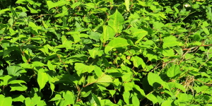 Argyll Knotweed Control Limited,Japanese Knotweed-Oban-Shops And Services-Services-Scotland