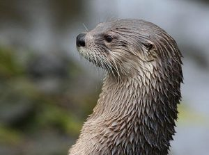 The Scottish Sea Life Sanctuary,Otter-Oban-What To Do-Attractions-Scotland