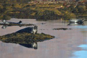 Argyll Safaris, What to do, Activities, Seals, Oban, Argyll, Scotland