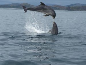 Seafari Adventures,Dolphins-Oban-What To Do-The Sea-Scotland