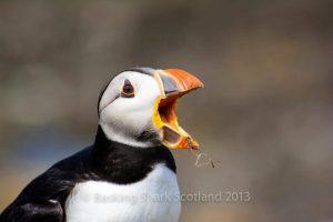 Basking Shark Scotland,Puffins-Oban-What To Do-The Sea-Scotland