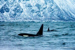 Basking Shark Scotland-What To Do-Sea-Orcas-Oban-Scotland