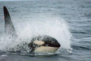 Basking Shark Scotland,Orca-What to do-Sea-Oban-Scotland